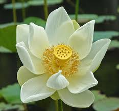 AA Michael ~ You Are Much More Integrated With Your Wholeness Lotus2